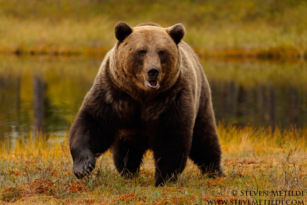 eurasian brown bear range