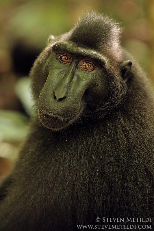 Orangutan Crested Black Macaque Tarsier Long Tailed