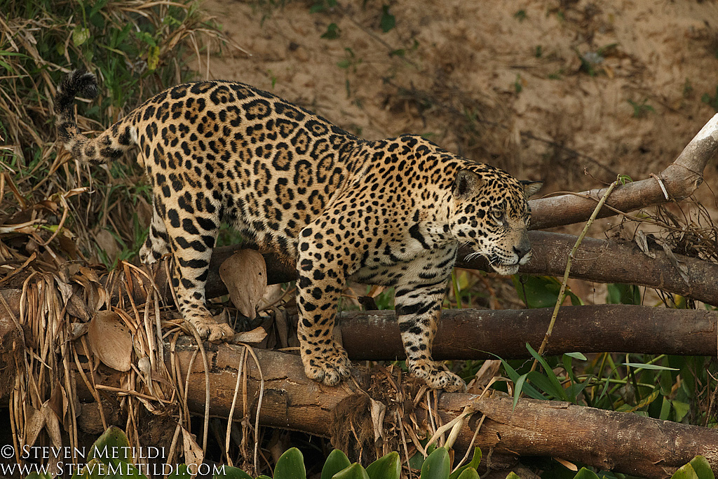 Jaguar   Young Male. These Cats At One Time Ranged From Northern Argentina  To Well Into The Southern United States Including California And Texas.